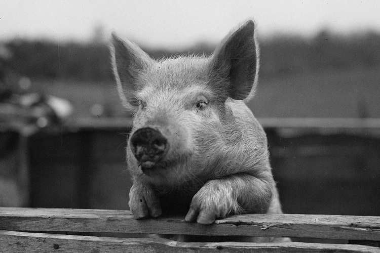 pig pictures miniature pig wikipedia pig pictures