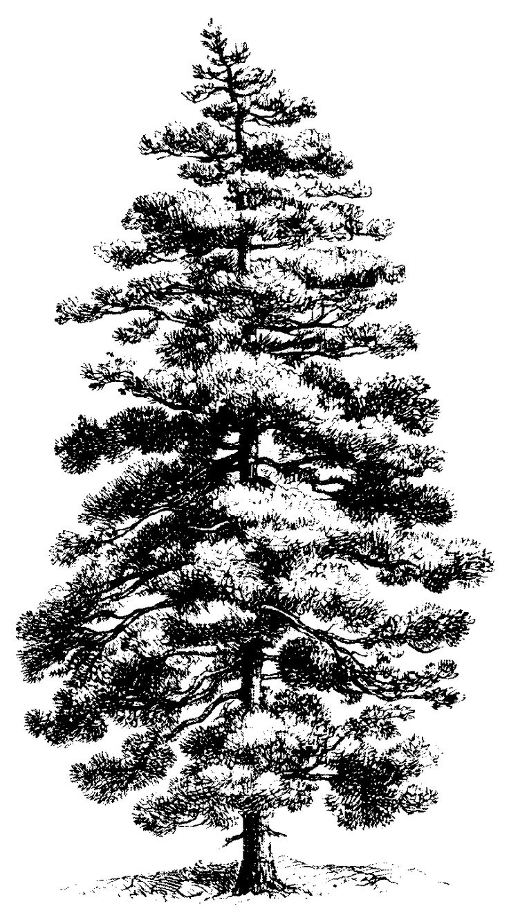 pine tree drawings 5 pine tree silhouette drawing png transparent onlygfxcom pine drawings tree