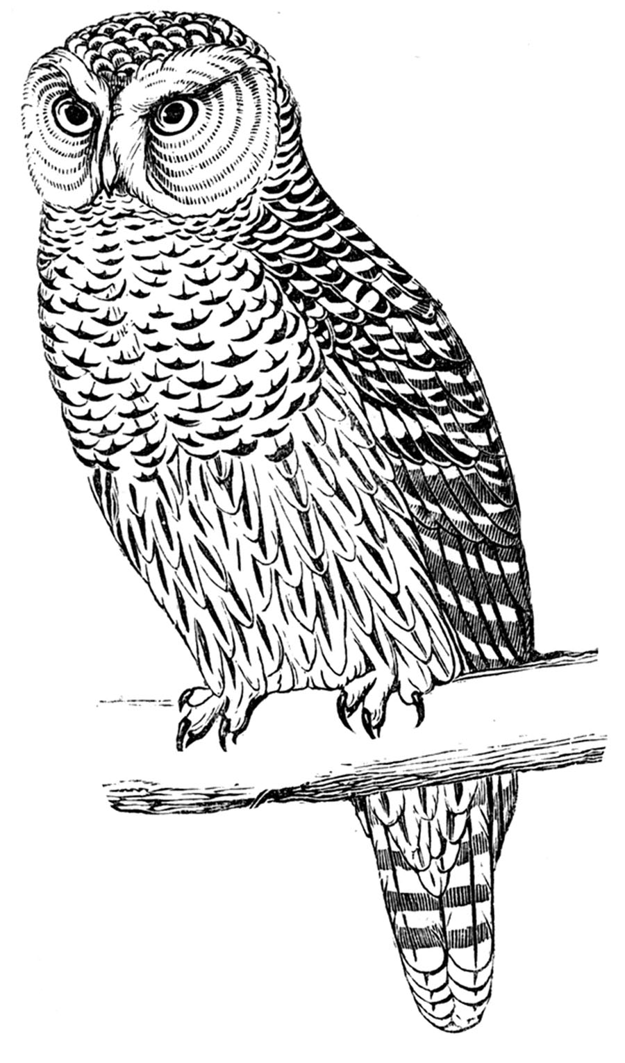 printable pictures of owls coloring pages owls of pictures printable
