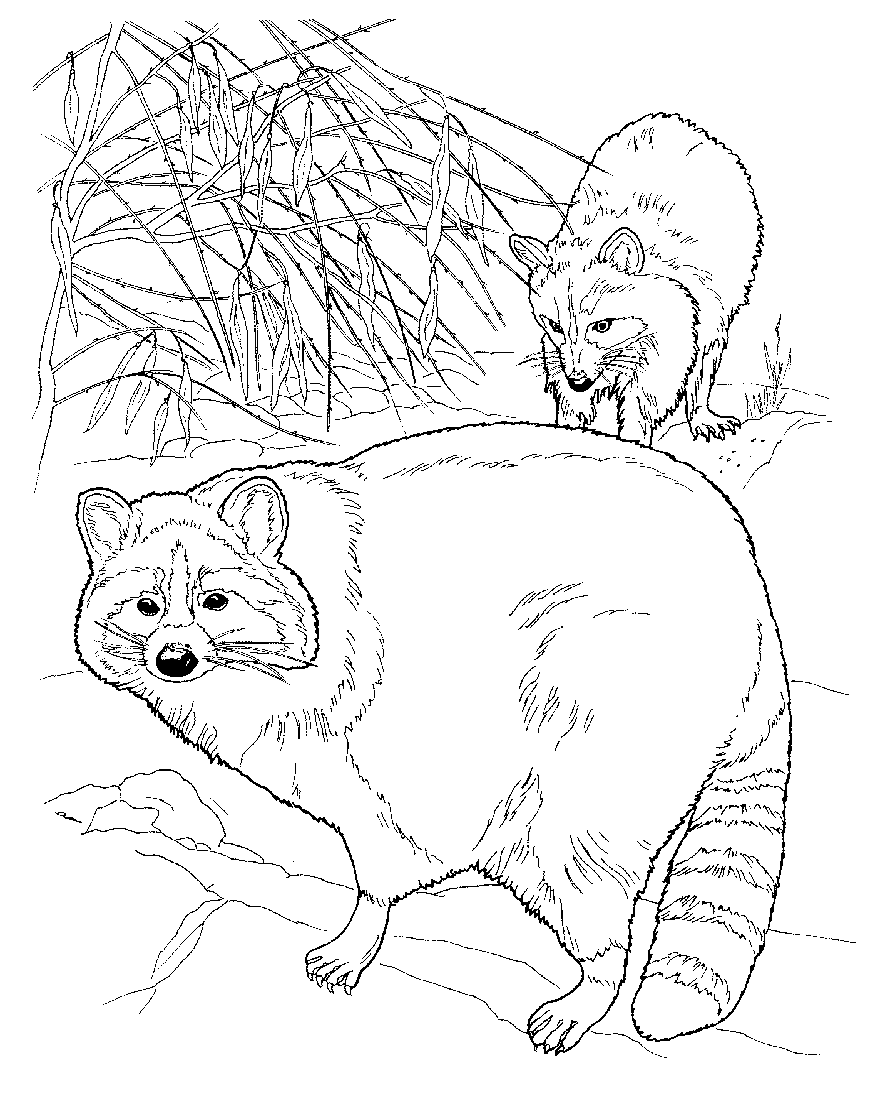 raccoon coloring coloring page of a raccoon coloring home coloring raccoon