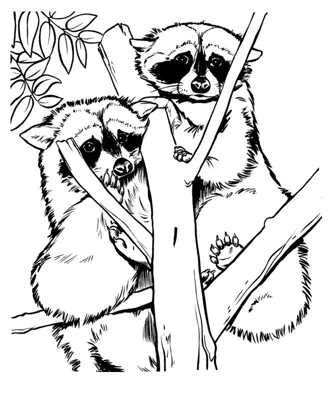 raccoon coloring free raccoon coloring pages coloring raccoon 1 1
