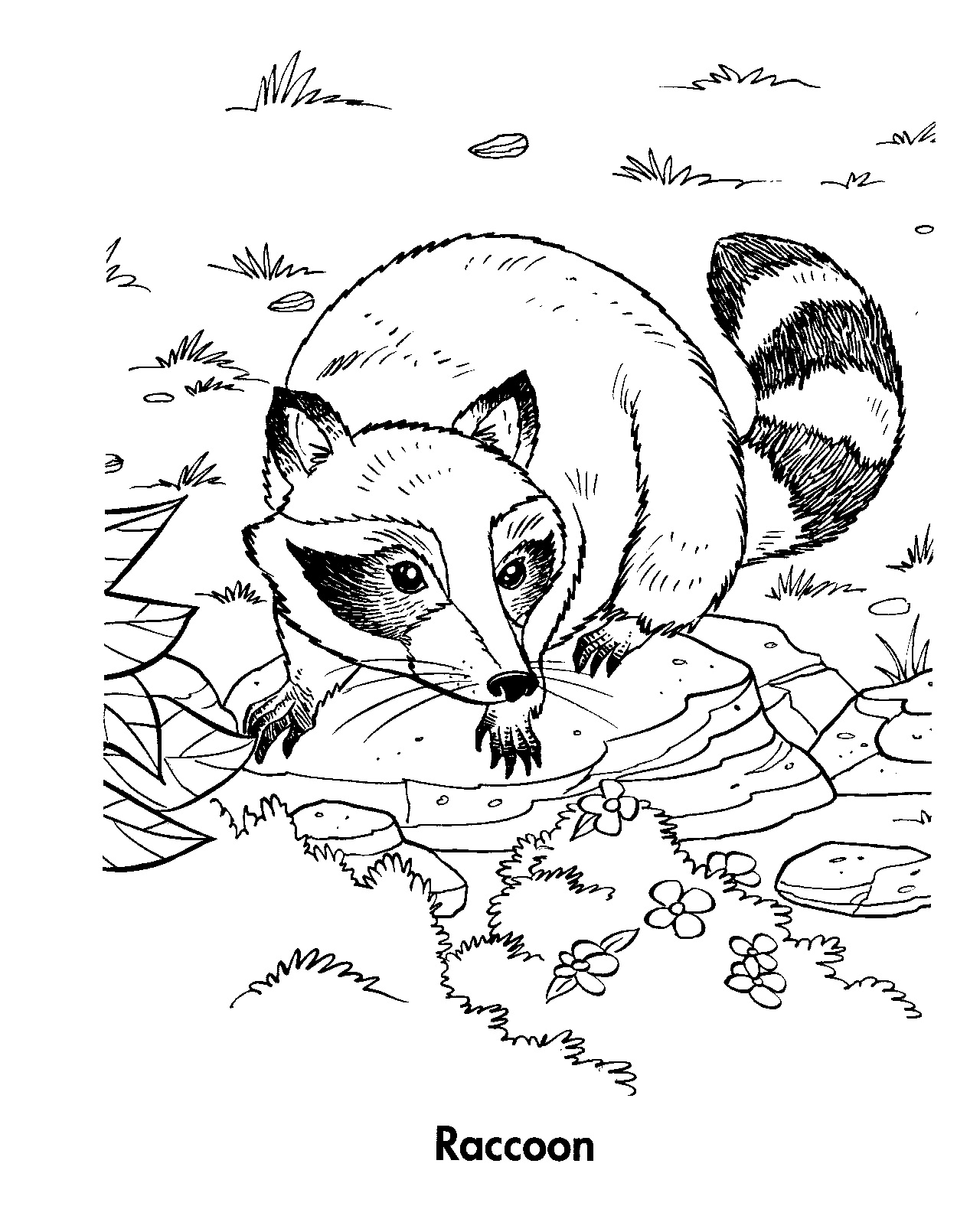 raccoon coloring pictures printable raccoon coloring pages for kids cool2bkids coloring raccoon pictures