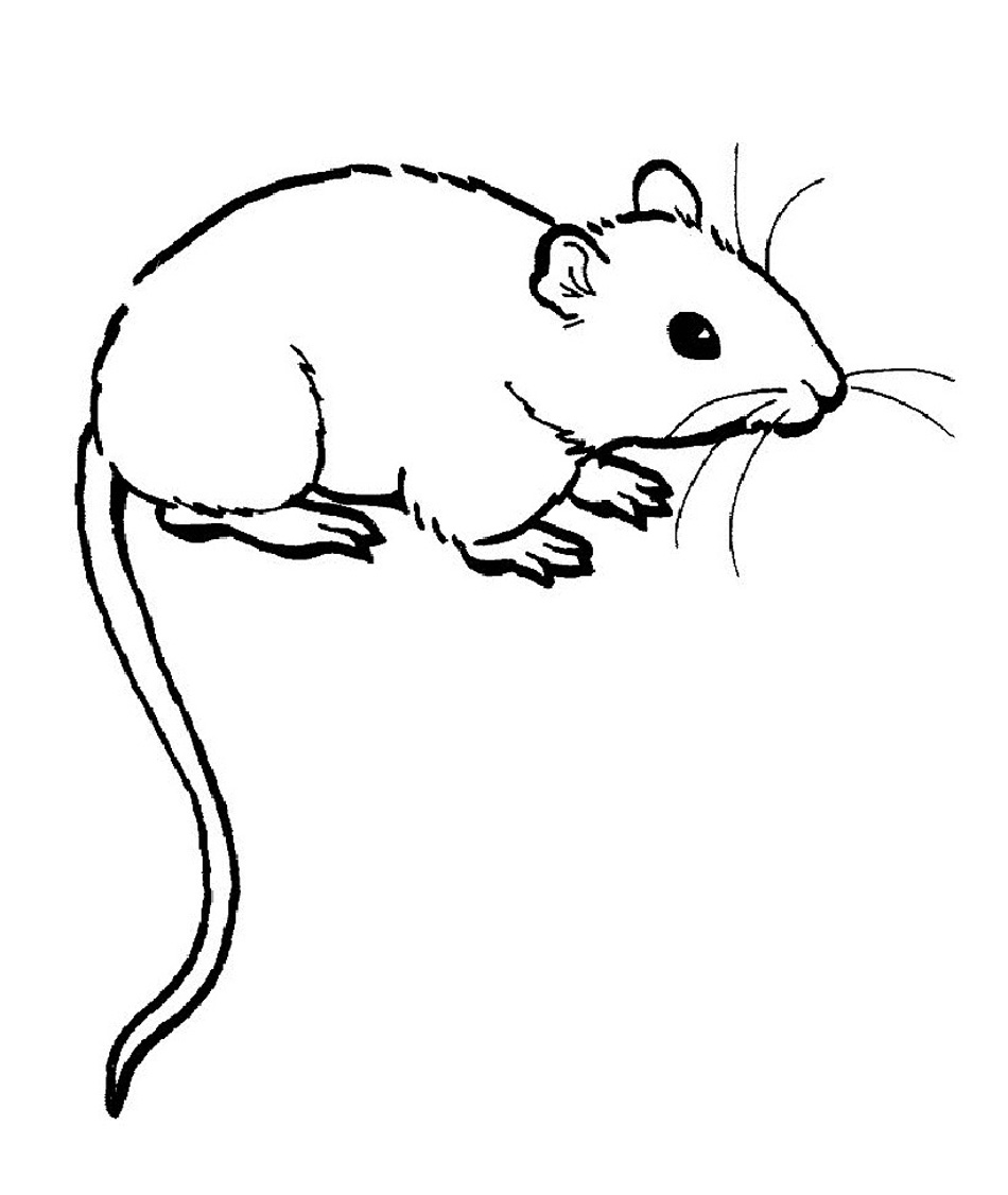 rat pictures to color kangaroo rat drawing at getdrawings free download rat pictures color to