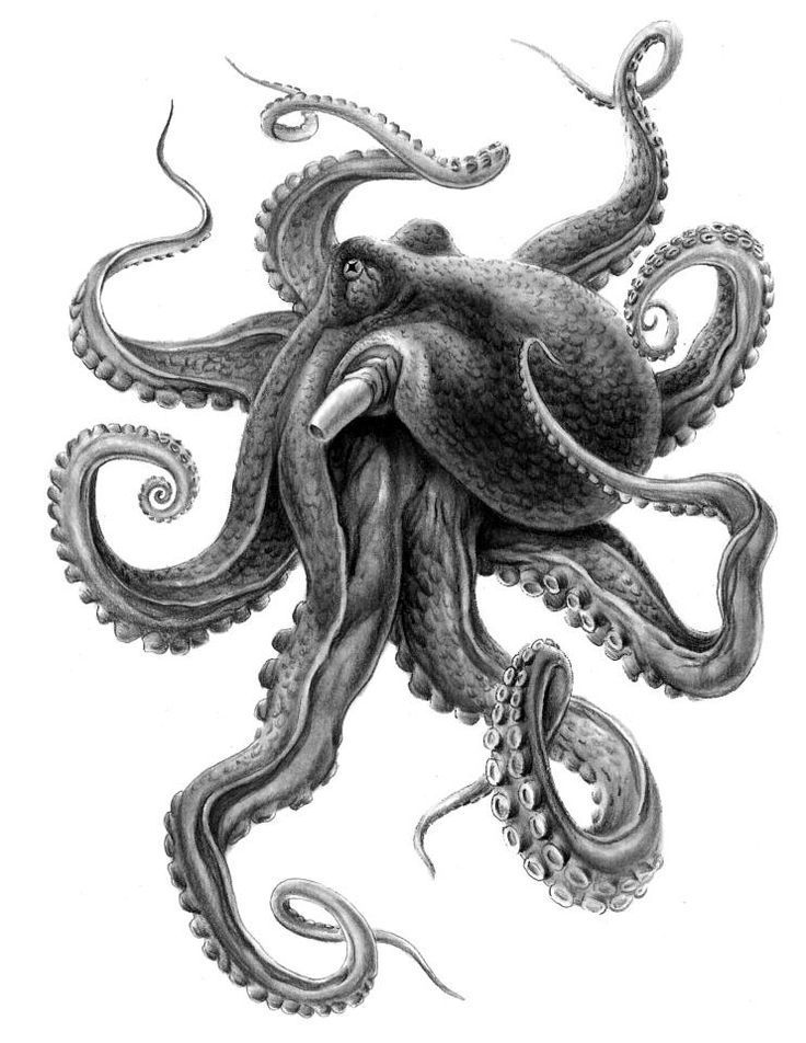realistic octopus drawing how to draw an octopus step by step octopus drawing realistic