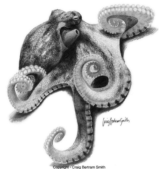 realistic octopus drawing realistic octopus drawing free download on clipartmag realistic drawing octopus