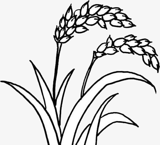 rice plant coloring page brown rice plant clipart clipart suggest coloring rice page plant