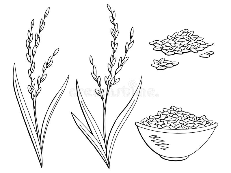 rice plant coloring page rice clipart plant rice plant transparent free for page plant rice coloring