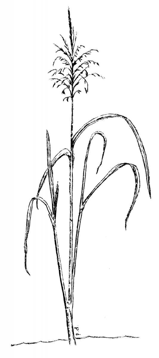 rice plant coloring page rice coloring page illustration free transparent coloring plant rice page