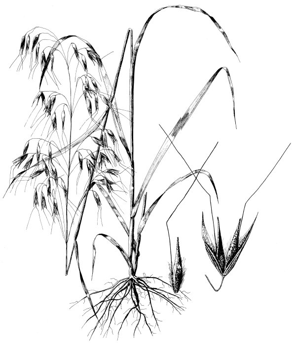 rice plant coloring page wild rice management and restoration natural resource plant page rice coloring