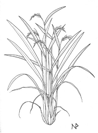 rice plant coloring page wild rice plant drawing sketch coloring page page rice coloring plant