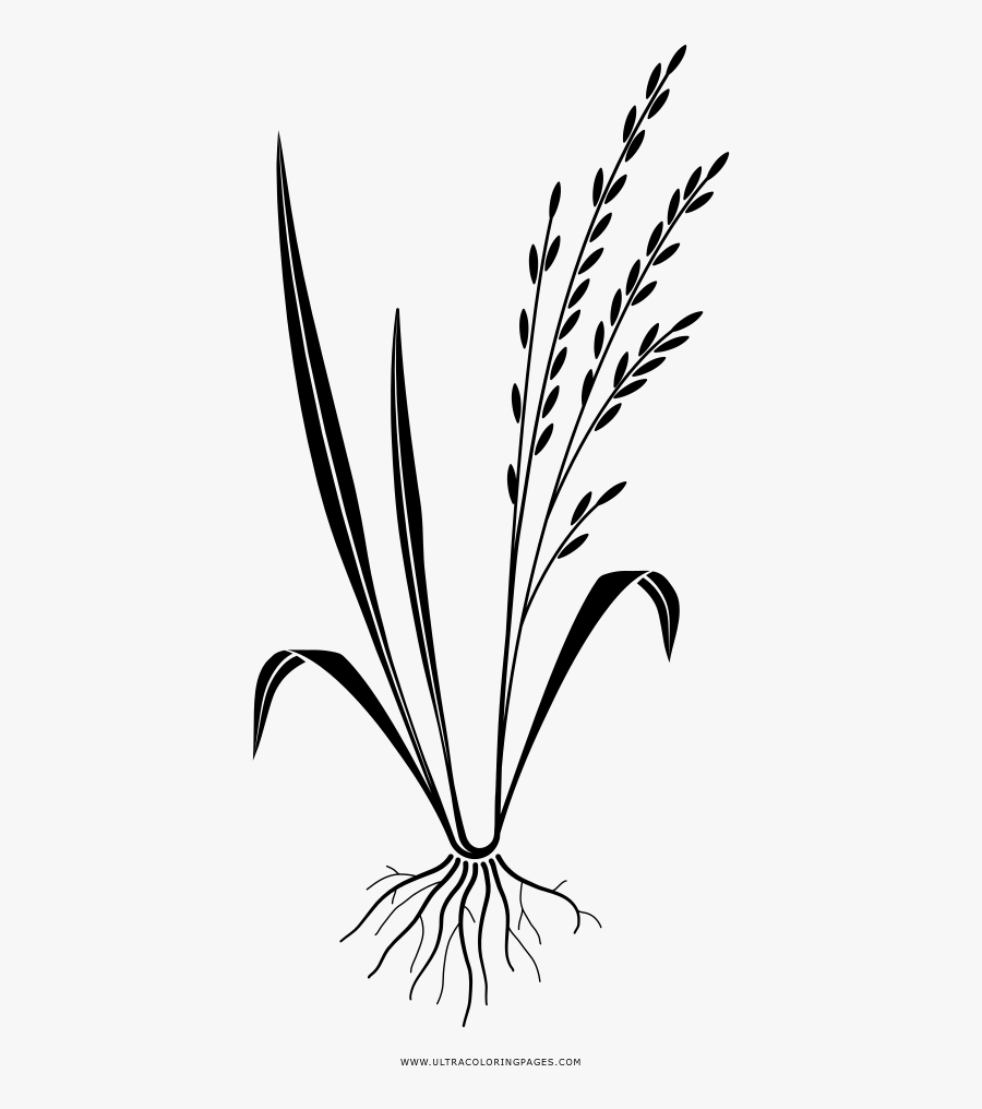 rice plant coloring page wild rice plant drawing sketch coloring page rice coloring page plant