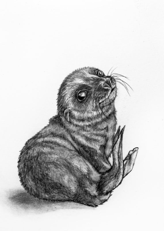 seal drawing how to draw a seal animal drawings drawing seal