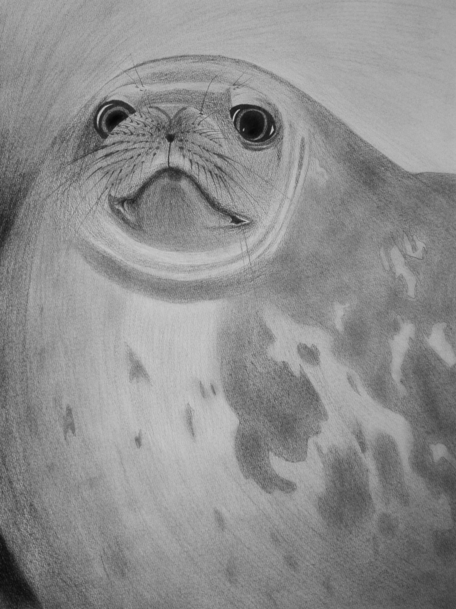 seal drawing just started drawing this i39m using this great new drawing seal