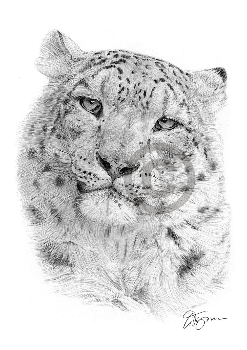 snow leopard drawing 49 best images about snow leopard art from fans on drawing leopard snow