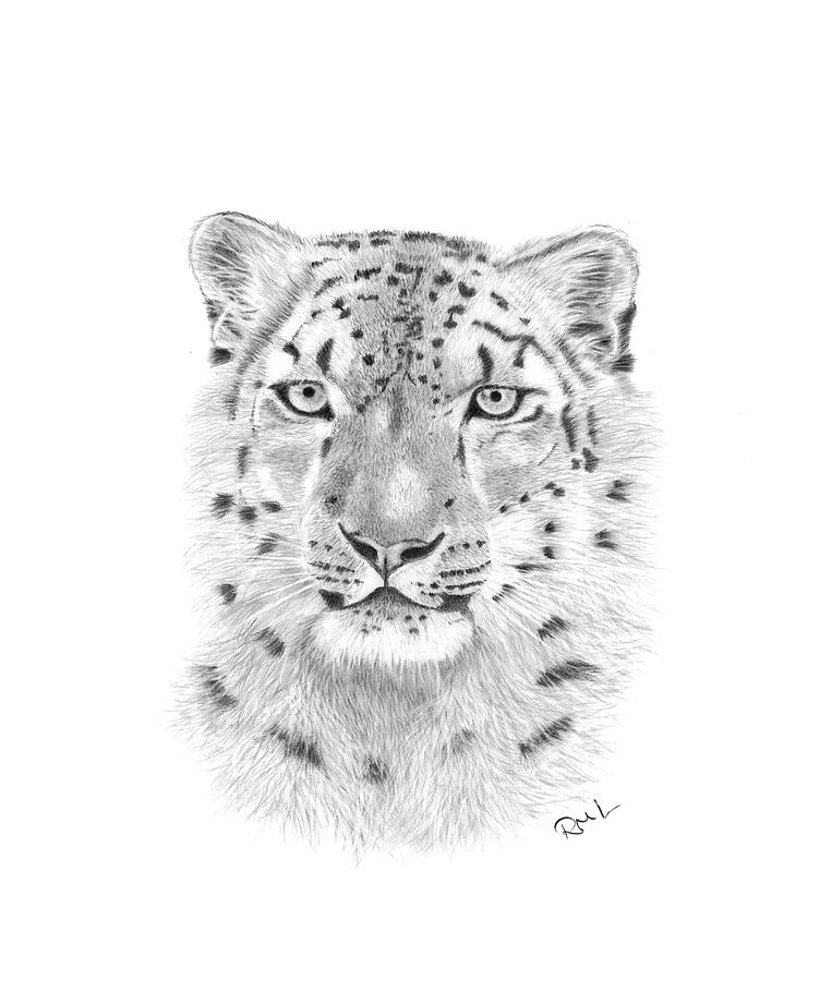 snow leopard drawing snow leopard by clive64 snow leopard drawing pencil drawing leopard snow
