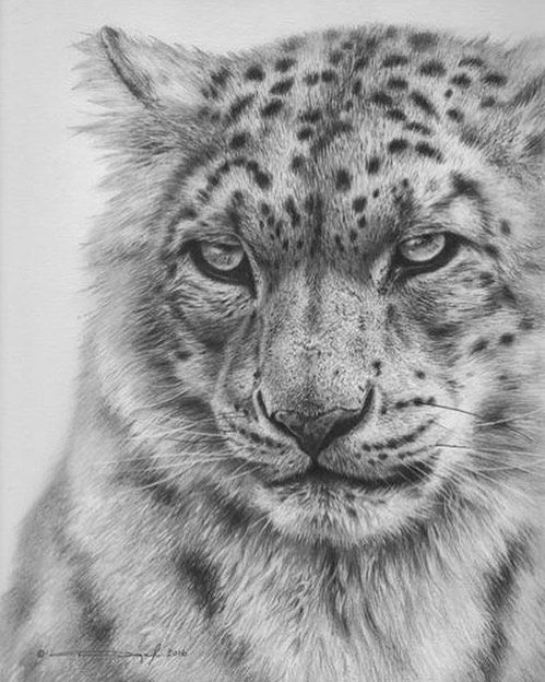 snow leopard drawing snow leopard by conchenn on deviantart leopard drawing snow