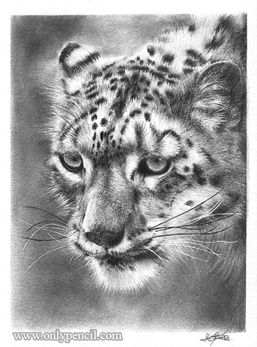 snow leopard drawing snow leopard drawing by loren dowding leopard drawing snow