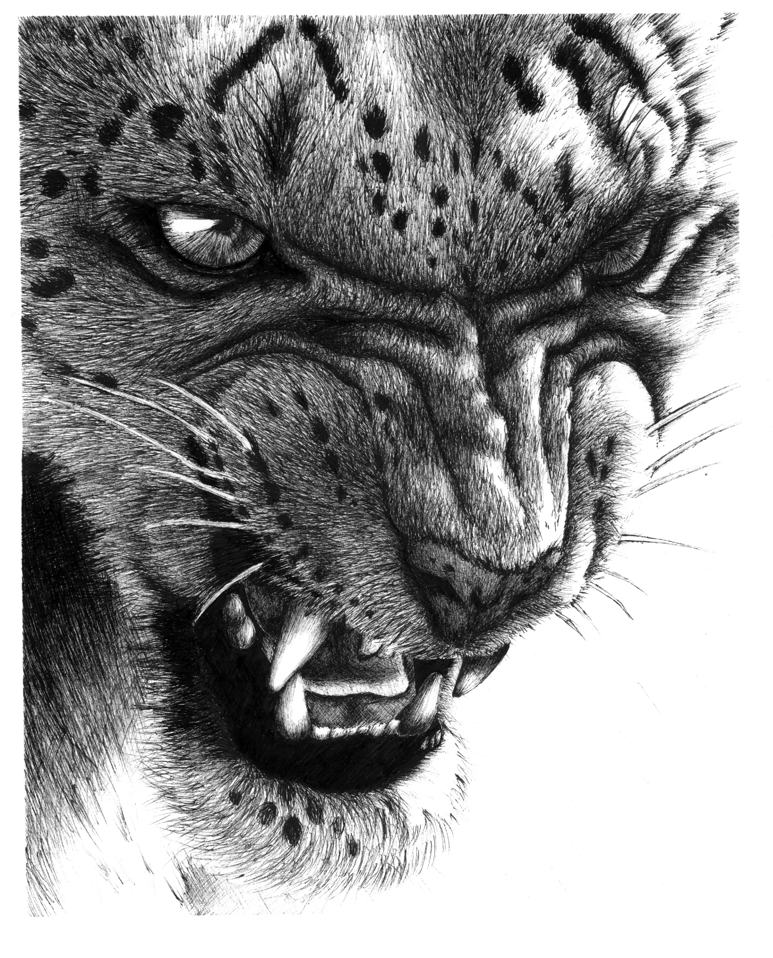 snow leopard drawing snow leopard print picture wildlife sketch wall fine art drawing leopard snow