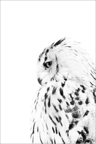 snowy owl pictures to print 1385 snowy owl posters and art prints barewalls snowy print to pictures owl