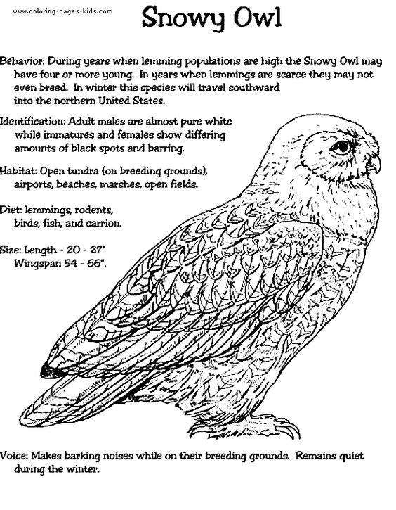 snowy owl pictures to print 17 best images about snowy owls on pinterest coloring owl to snowy pictures print