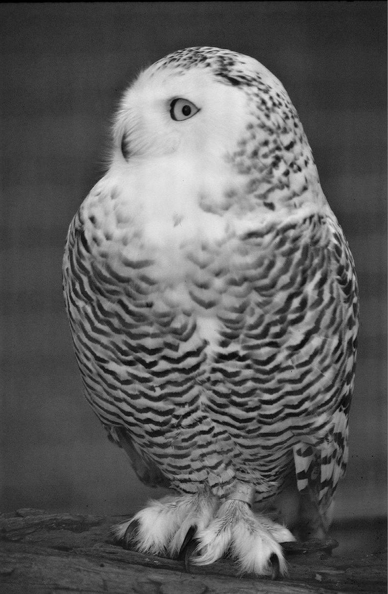 snowy owl pictures to print bird coloring pages pictures to owl print snowy