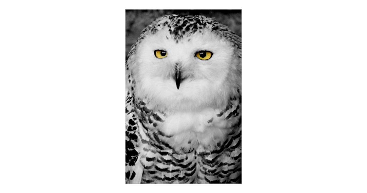snowy owl pictures to print black and white photo of the great white snowy owl looks pictures owl snowy to print