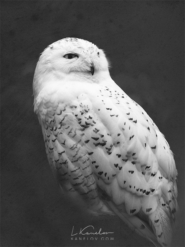 snowy owl pictures to print keeping an eye out this snowy owl was just relaxing on a snowy to print owl pictures