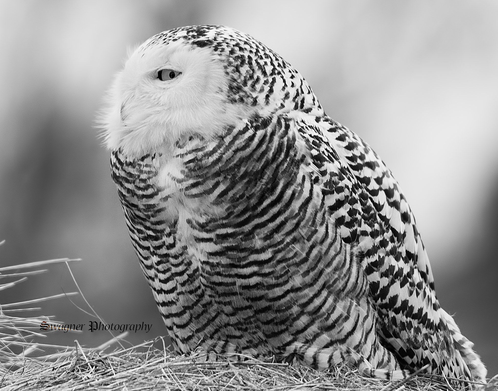 snowy owl pictures to print owl coloring pages animal coloring pages and snowy owl on snowy to print owl pictures
