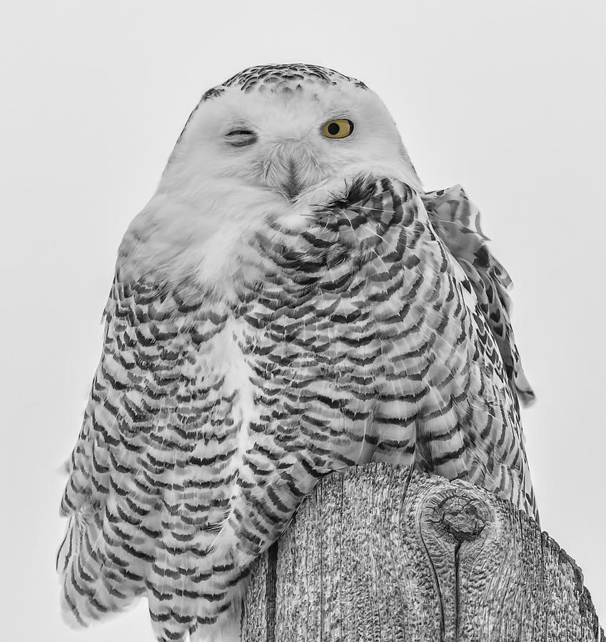 snowy owl pictures to print snowy owl 1877 nnyctea nivea line engraving 1877 snowy pictures print to owl