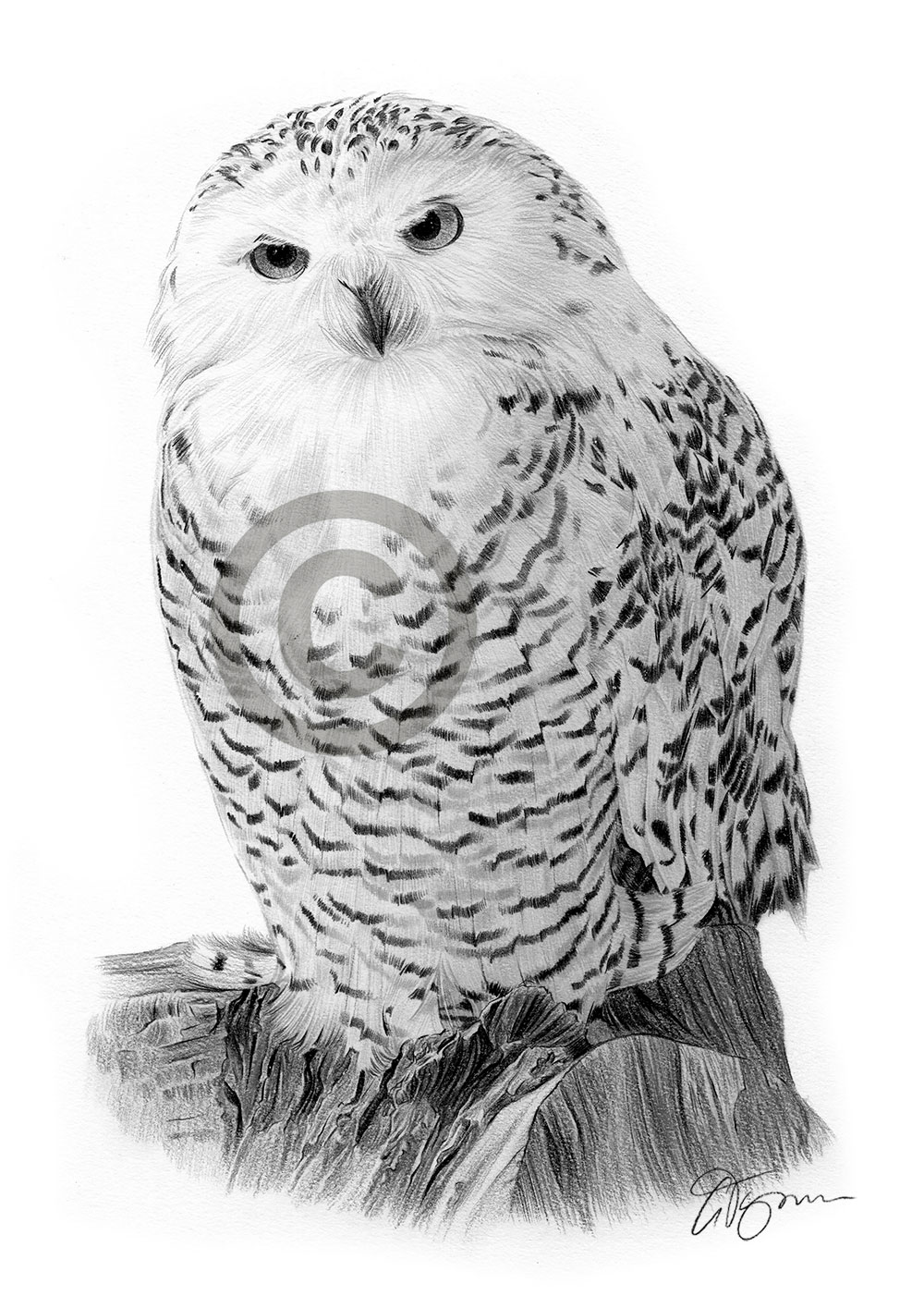 snowy owl pictures to print snowy owl fine art print by luke kanelov unframed owl to print pictures snowy