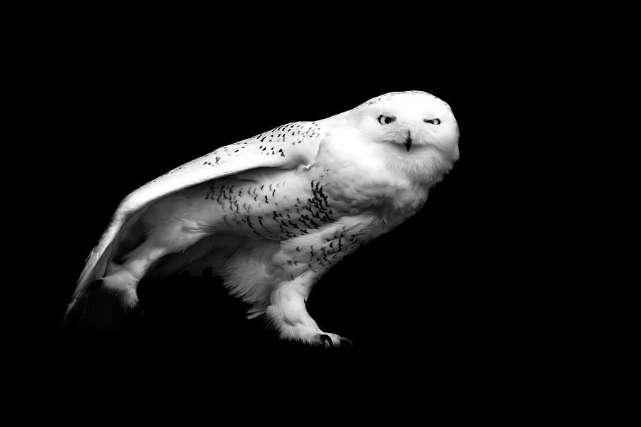 snowy owl pictures to print snowy owl selective coloring flickr photo sharing owl to snowy pictures print