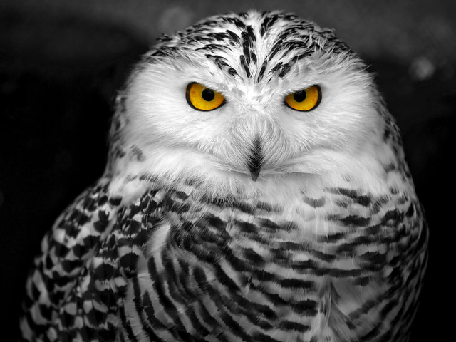 snowy owl pictures to print white owl poster print by photoinc studio 24 x 24 snow owl to print pictures snowy