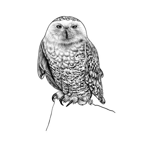 snowy owl pictures to print winking snowy owl black and white photograph by thomas young pictures print to snowy owl