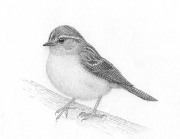 sparrow drawing flying sparrows on behance drawing sparrow
