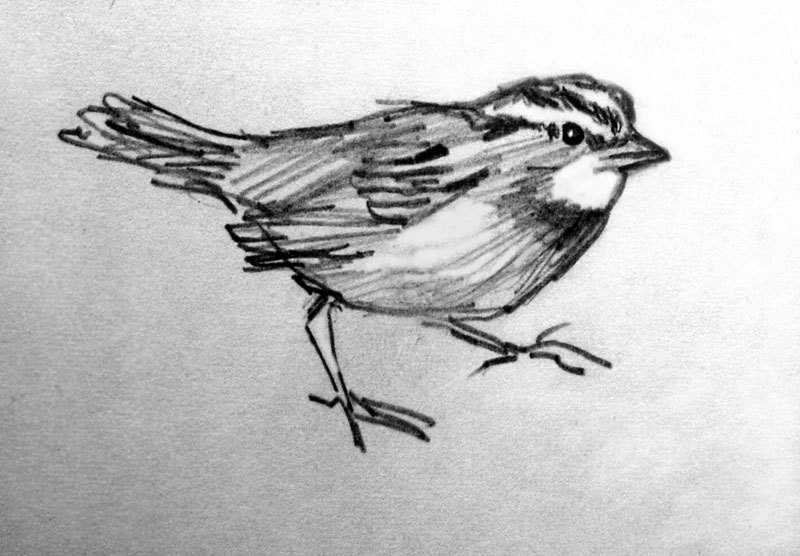 sparrow drawing how to draw sparrows step by step birds animals free drawing sparrow