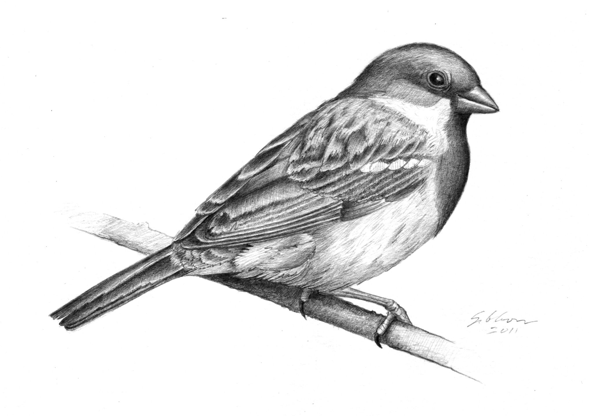 sparrow drawing sparrow pencil drawing dieren drawing sparrow