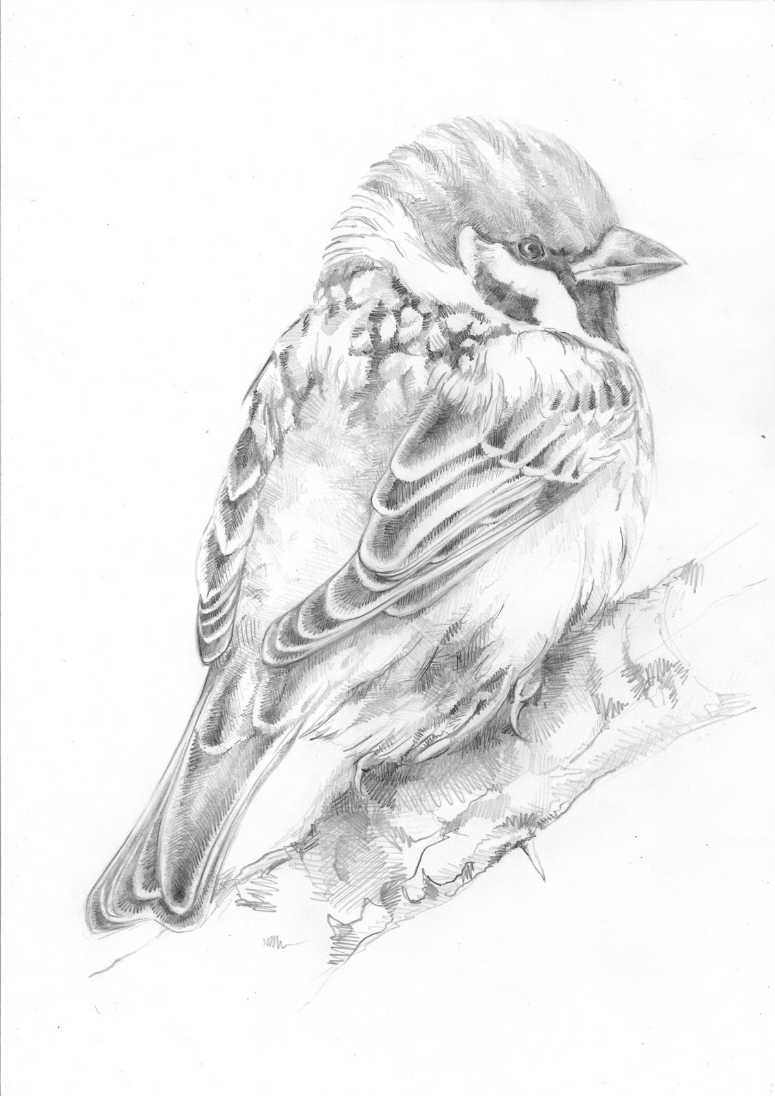 sparrow drawing vintage sparrow drawing free download on clipartmag drawing sparrow