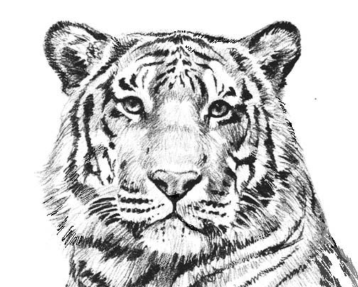 tiger pictures to color tiger animal coloring pages coloring home tiger to pictures color