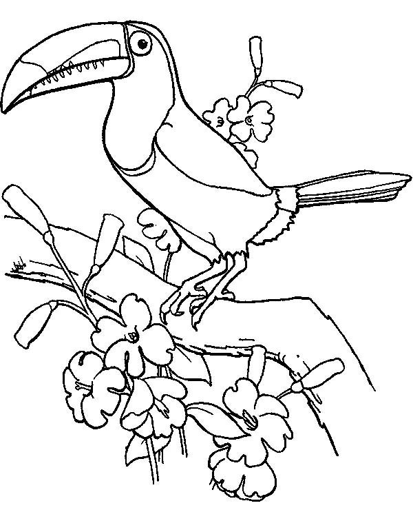 toucan coloring toucan coloring pages download and print toucan coloring coloring toucan 1 1