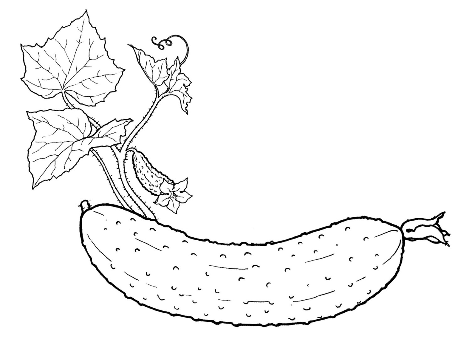 vegetable pictures to colour cucumber coloring pages to download and print for free colour pictures to vegetable