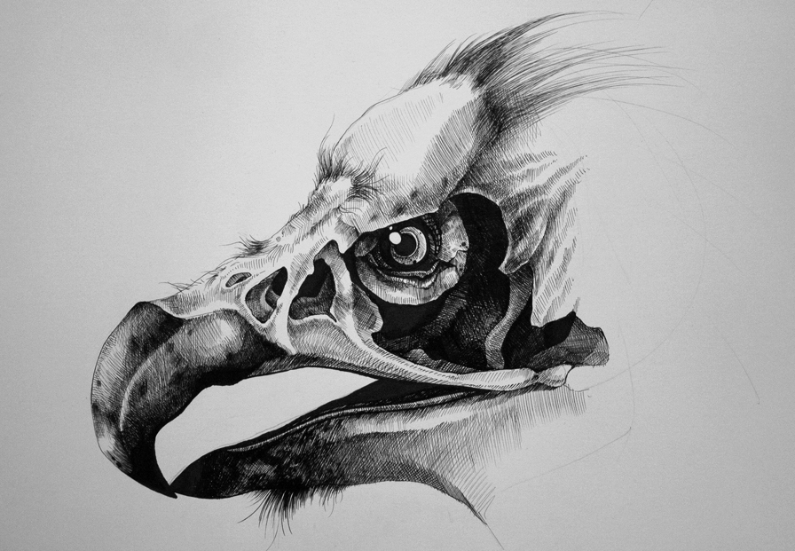 vulture drawing art by samantha decarlo vulture sketch vulture drawing