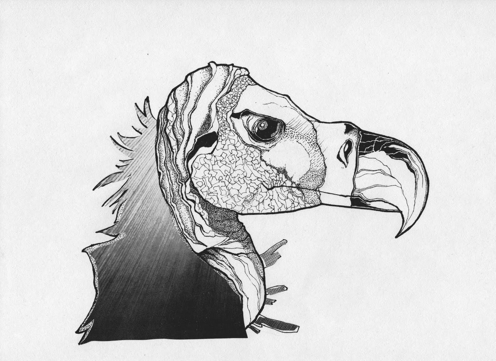 vulture drawing bearded vulture study by dorchica on deviantart drawing vulture