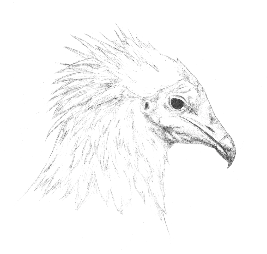 vulture drawing drawing of a vulture by vlad pop drawing vulture