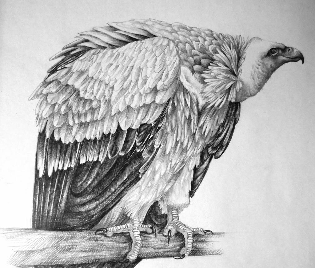 vulture drawing egyptian vulture by edgedfeather on deviantart vulture drawing