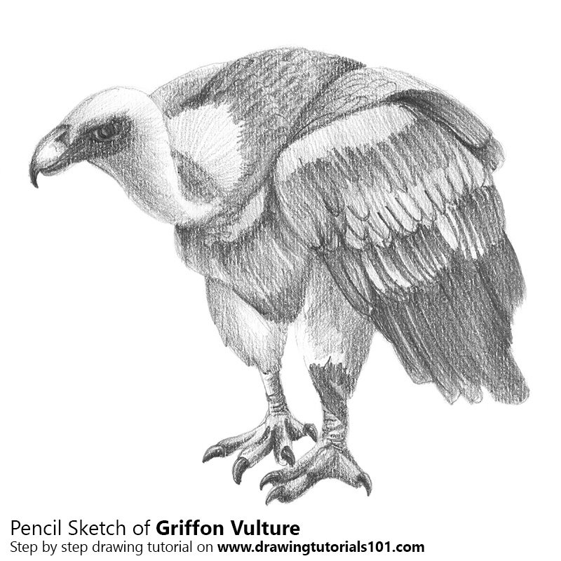 vulture drawing griffon vulture with pencils pencil drawing how to drawing vulture
