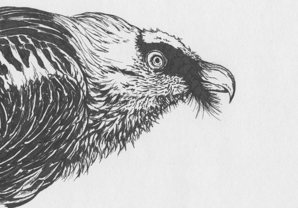 vulture drawing madeleine dubé sketches musings from a creative journey drawing vulture
