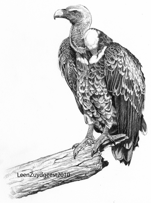 vulture drawing rueppells39 vulture by leenzuydgeest on deviantart vulture drawing