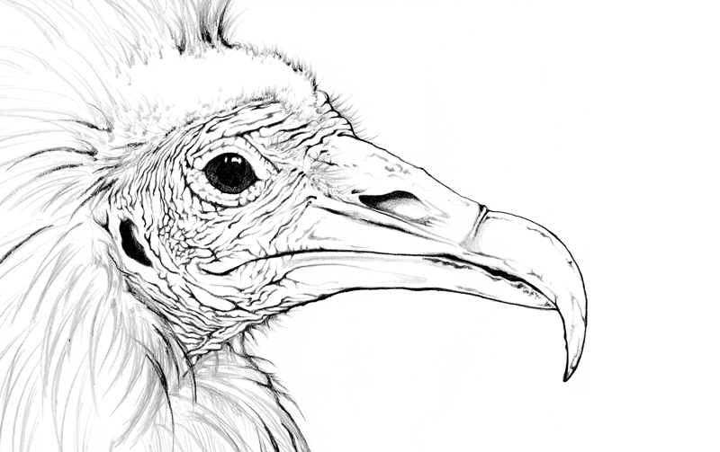 vulture drawing white backed vulture by rachel caldwell art drawings vulture drawing
