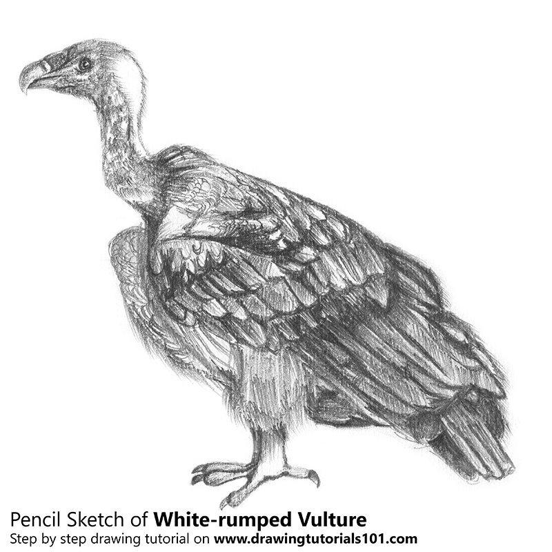vulture drawing white rumped vulture pencil drawing how to sketch white vulture drawing