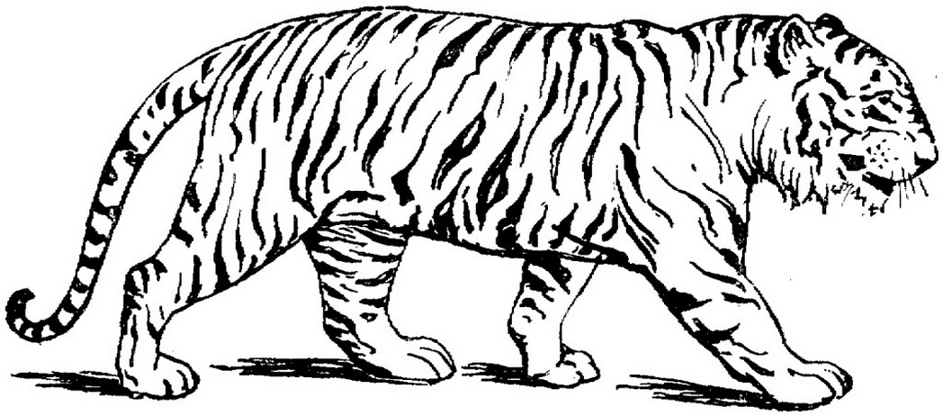 wild cat coloring pages free download wild cat clipart for your creation cat wild cat coloring pages